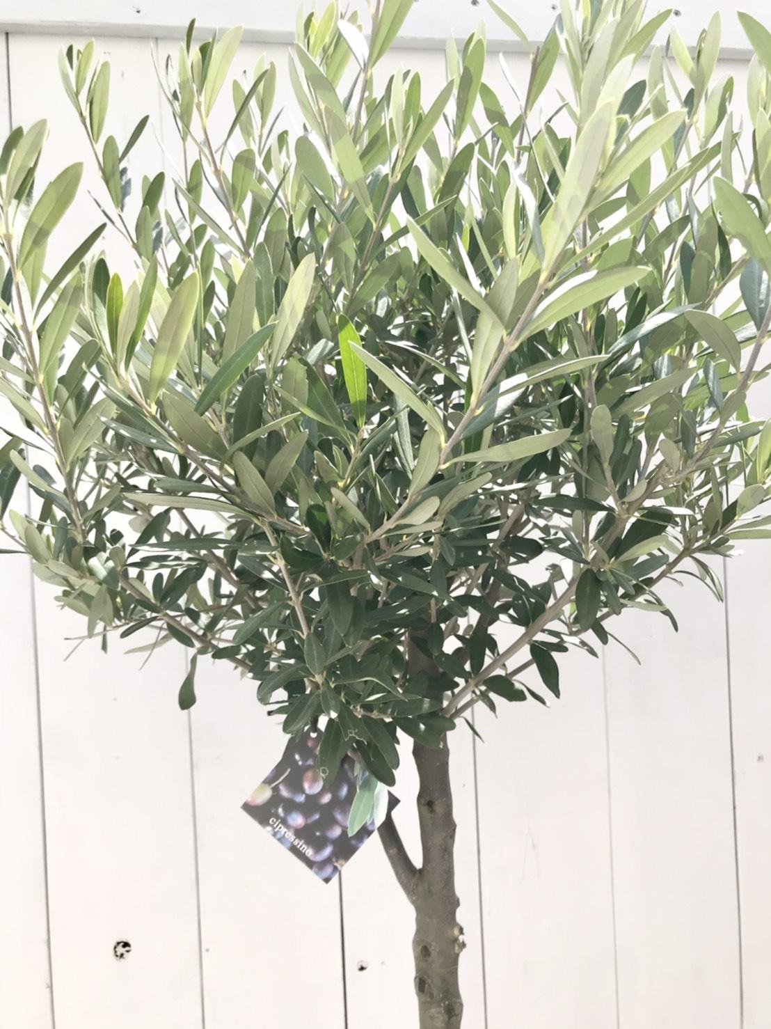 olivecipto