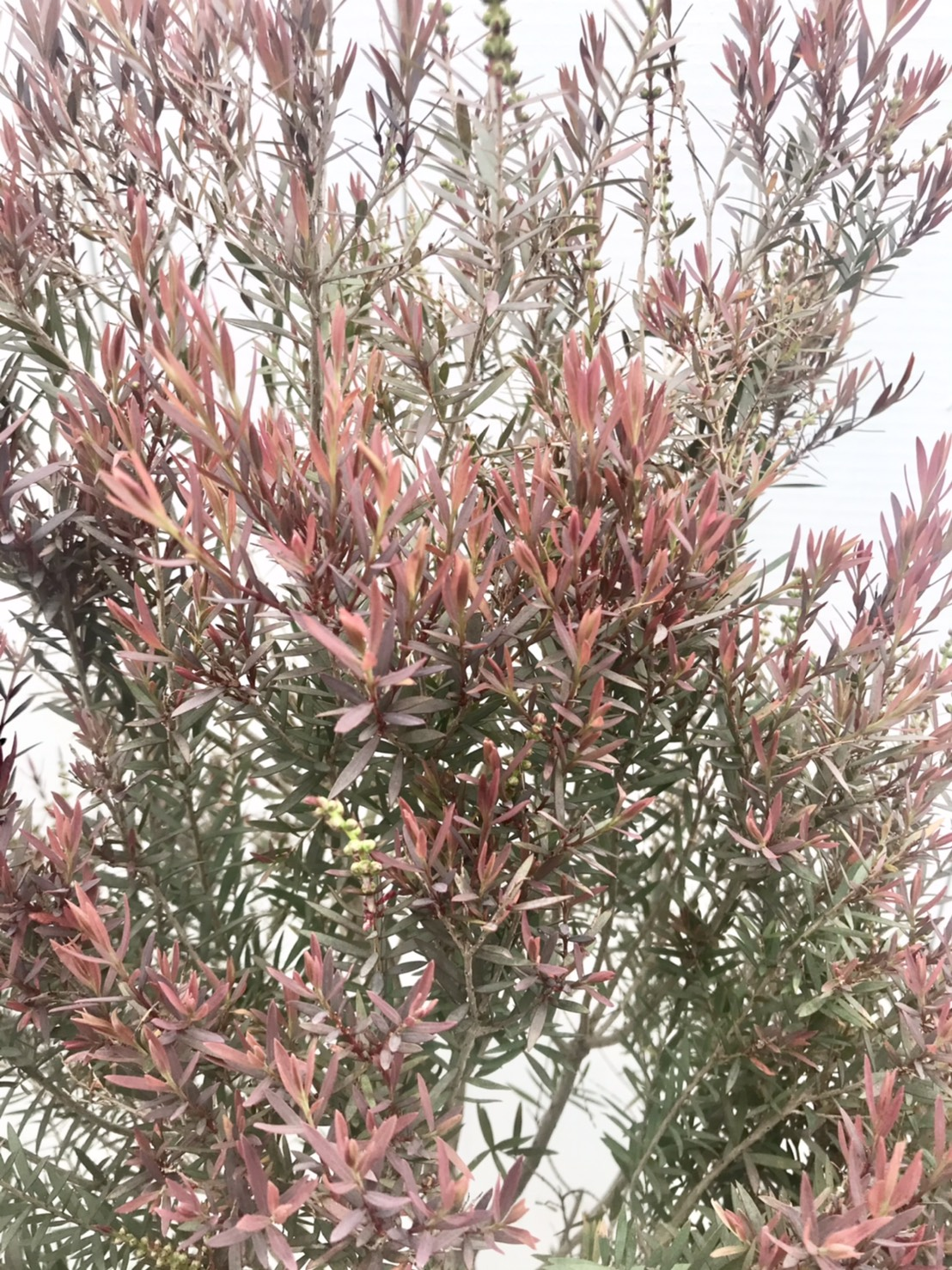 melaleuceae