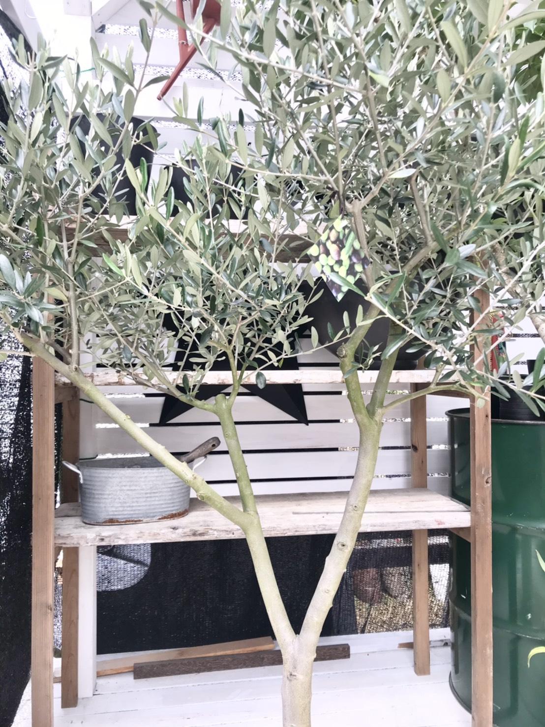olivelucca
