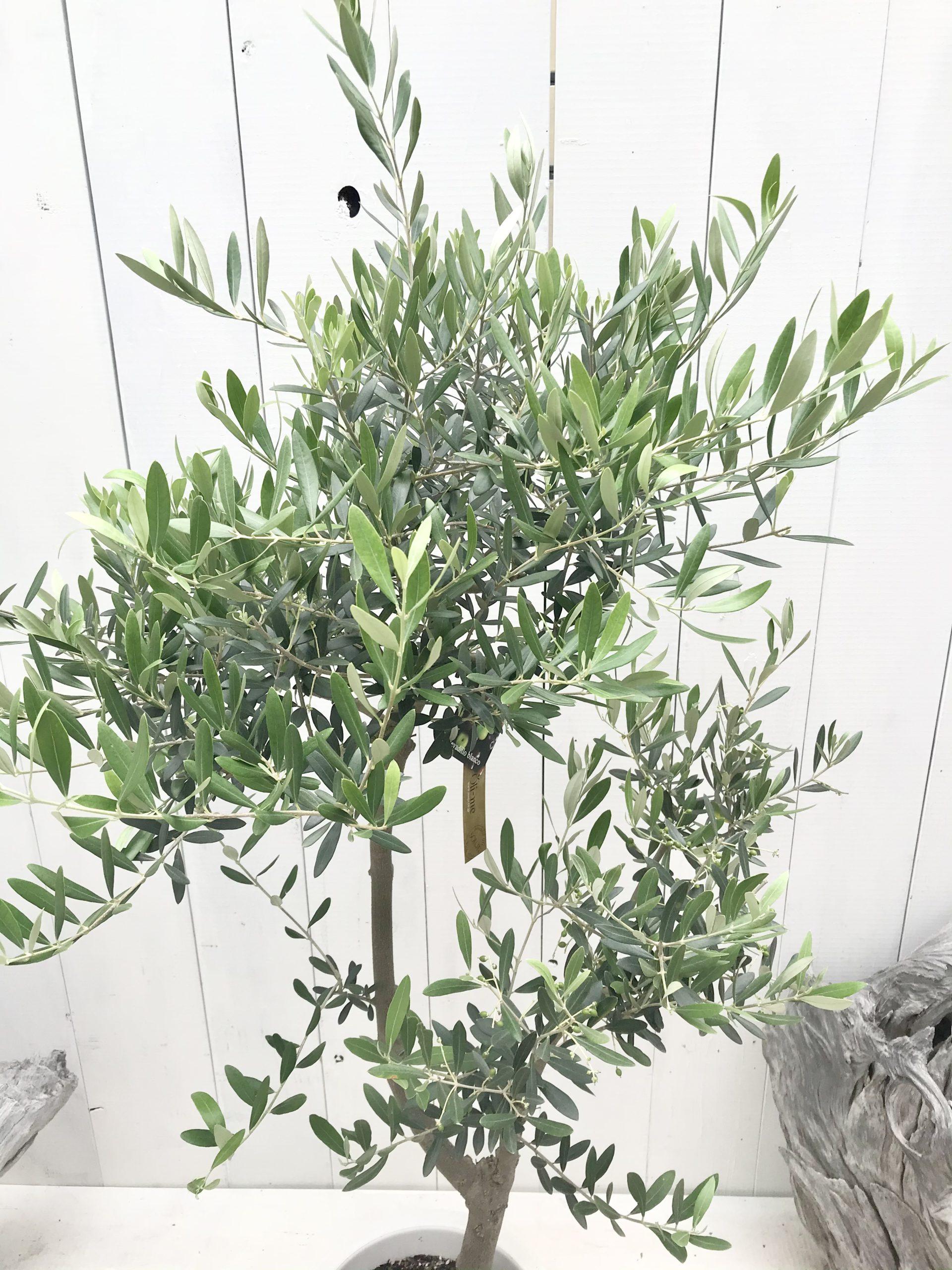 oliveneA